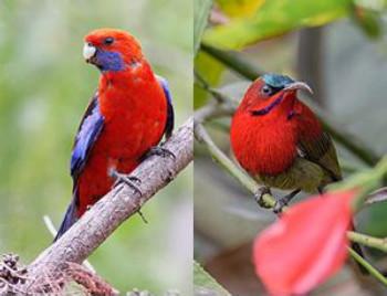 Crimson-Birds.jpg
