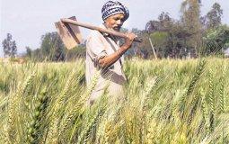 Punjabi Farmer stands in his field