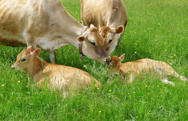vegan-Cows-priya-and-calves.jpg